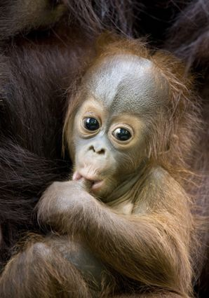 Orangutan babies suck their thumb for comfort much like human babies