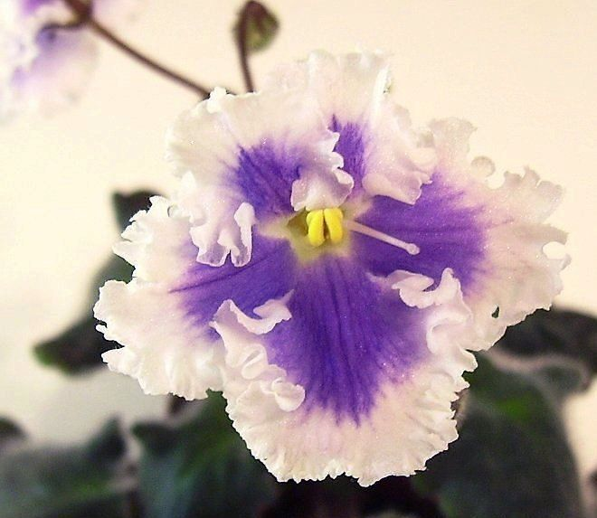 1000+ Images About African Violet On Pinterest