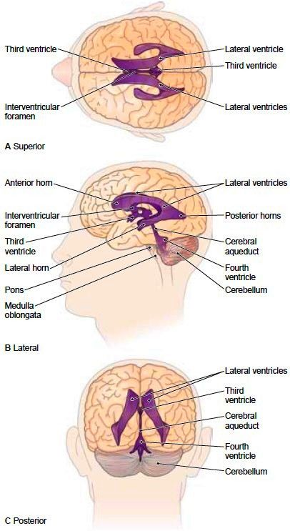 brain+ventricles | The Brain. Protective Structures of the Brain. Cerebrospinal Fluid