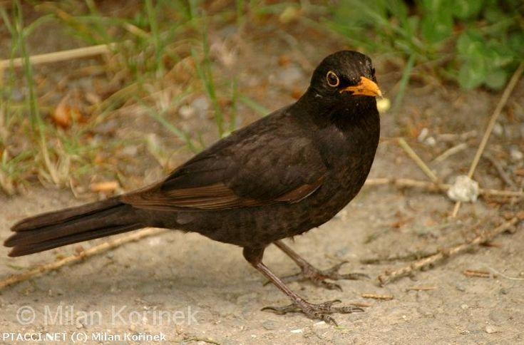 Kos černý - Turdus merula http://biolib.cz | © Milan Kořínek |