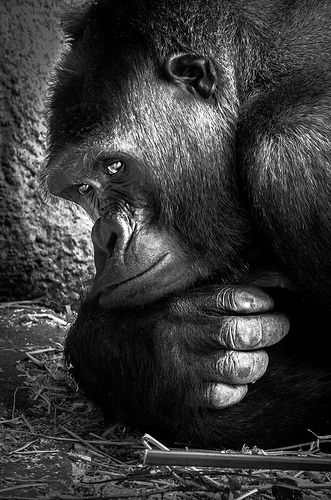 Gorilla.  (KO) I hate to see these animals in captivity. They are not far from human. So beautiful.