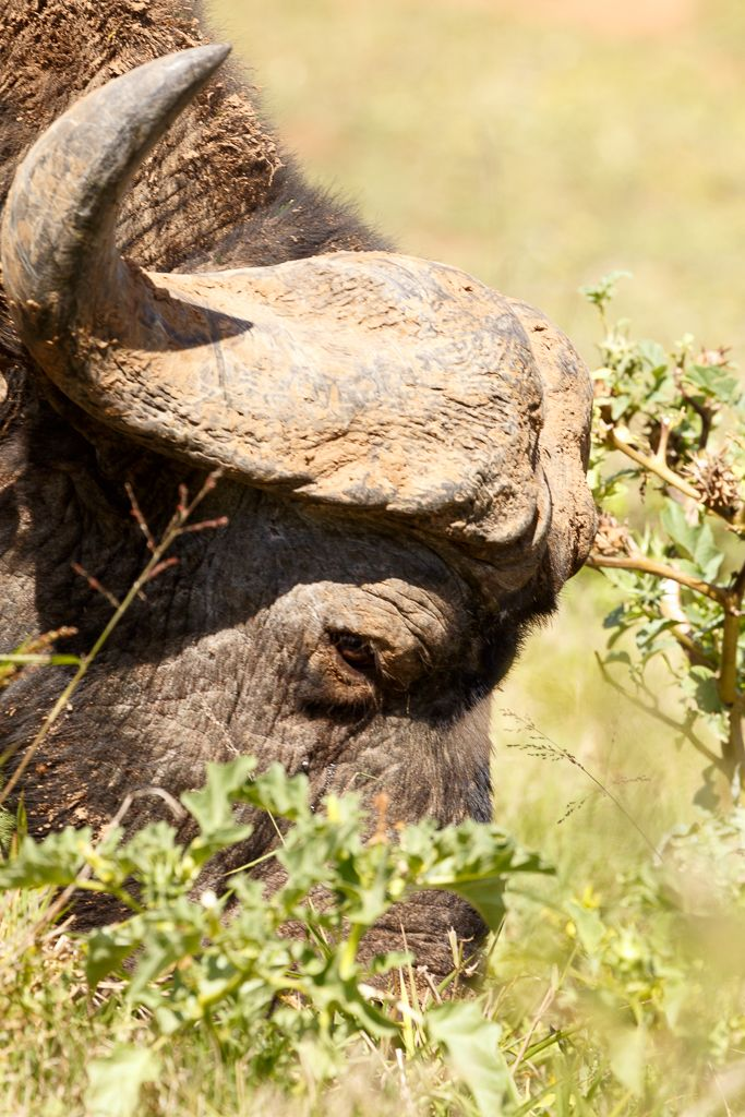 I see a African buffalo.. Addo Elephant National Park is a diverse wildlife conservation park situated close to Port Elizabeth in South Africa and is one of the country's 19 national parks.