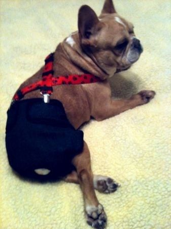 Designer Doggie Diaper Suspenders / Guaranteed to Keep a Diaper on Your Doggie. $25.00, via Etsy.