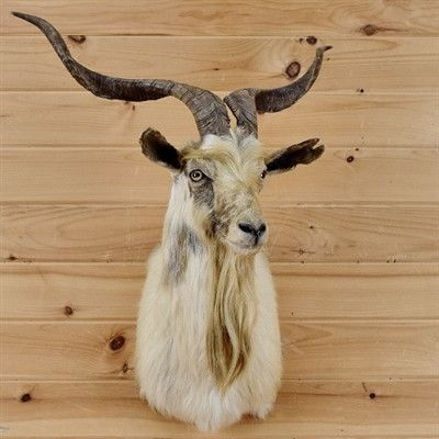 Catalina Goat Taxidermy for Sale - SW1777