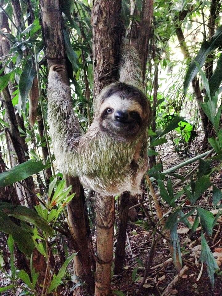 675 Best Images About Sloths 1 Brown Throated Three Toed