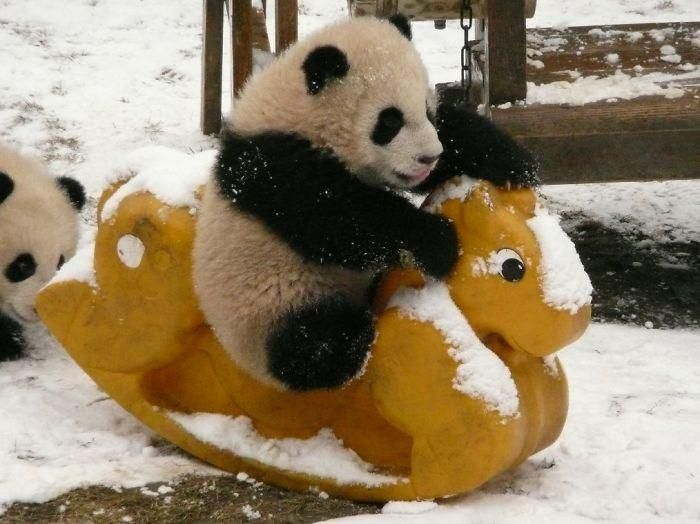 Resultado de imagen de fotos pandas bebes