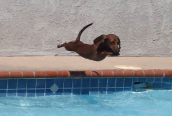 PetsLadys Pick: Cute Diving Dachshund Of The Day ... see more at http://PetsLady.com ... The FUN site for Animal Lovers