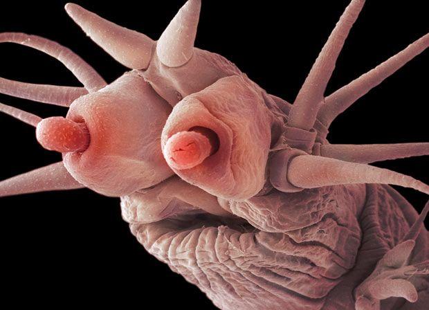 Poliquetos abisales. Diseñados para dar miedo Estos animales viven a profundidades superiores a los mil metros, donde no llega la luz del sol.  Crecen en los alrededores de las chimeneas hidrotermales que hay en el fondo del océano, en los bordes de las placas tectónicas.