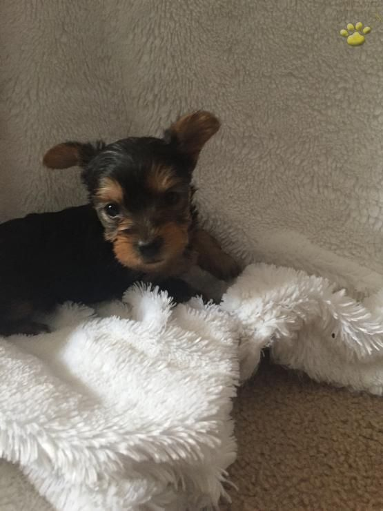 Sugar Bear - Yorkshire Terrier Puppy for Sale in Downingtown, PA   Lancaster…