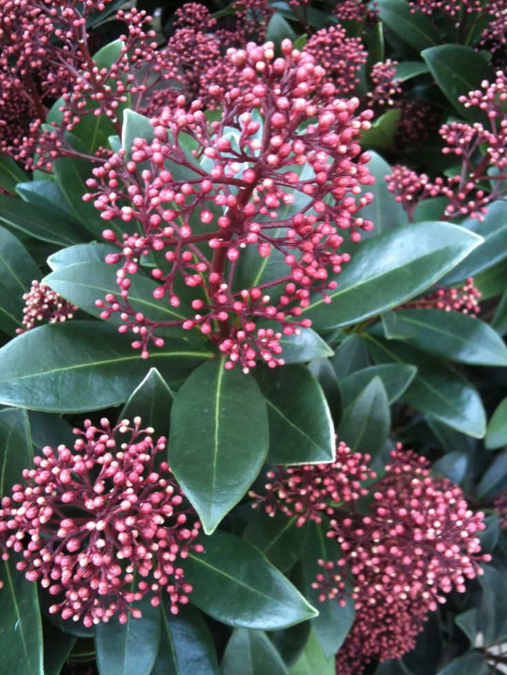 buy skimmia 39 rubella 39 from jacksons nurseries for uk delivery garden shrubs greenery for. Black Bedroom Furniture Sets. Home Design Ideas