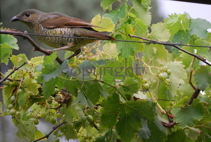 Bower bird in grapevine photo card. http://rocklilywombats.com/shop/