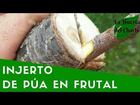 florablog innestare una pianta da frutto: innesto a spacco - YouTube