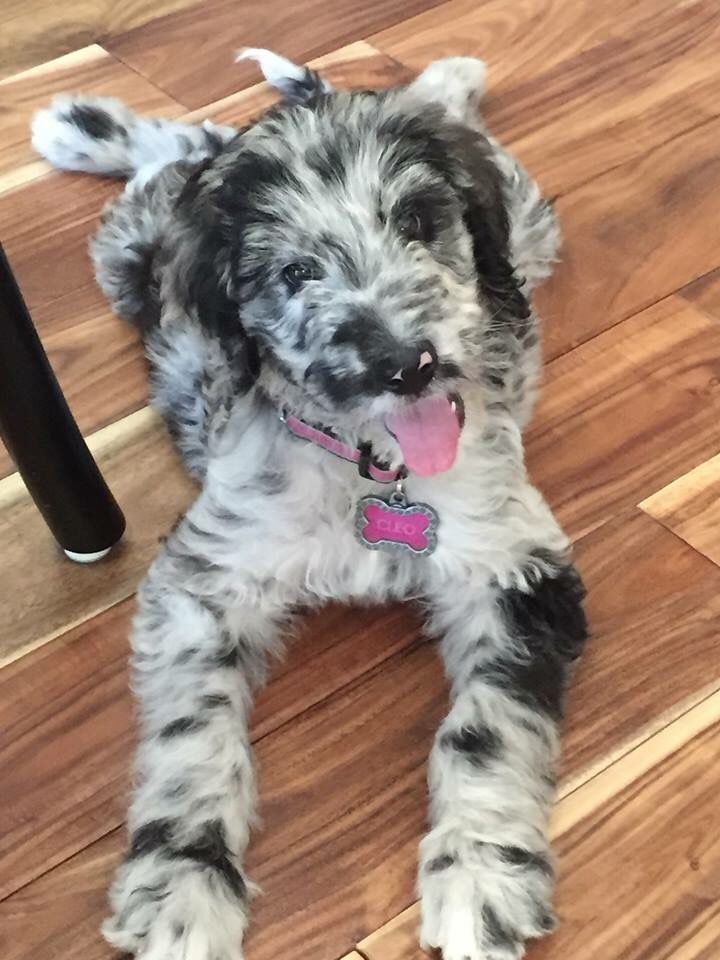 Great Danoodle (Great Dane X Poodle Mix) Info, Temperament, Puppies, Pictures