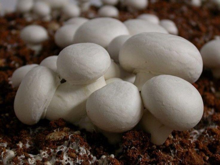 cultivar champiñones - consejos