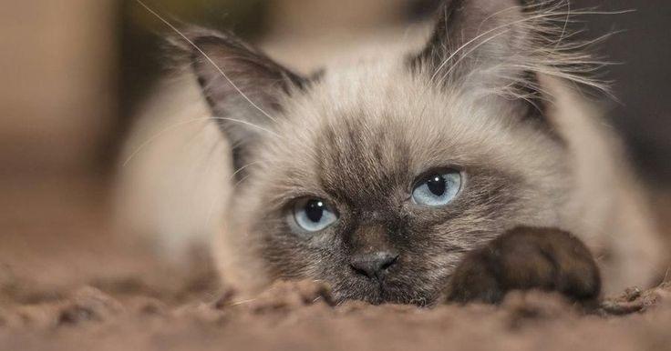 toxoplasmosis gatos embarazo