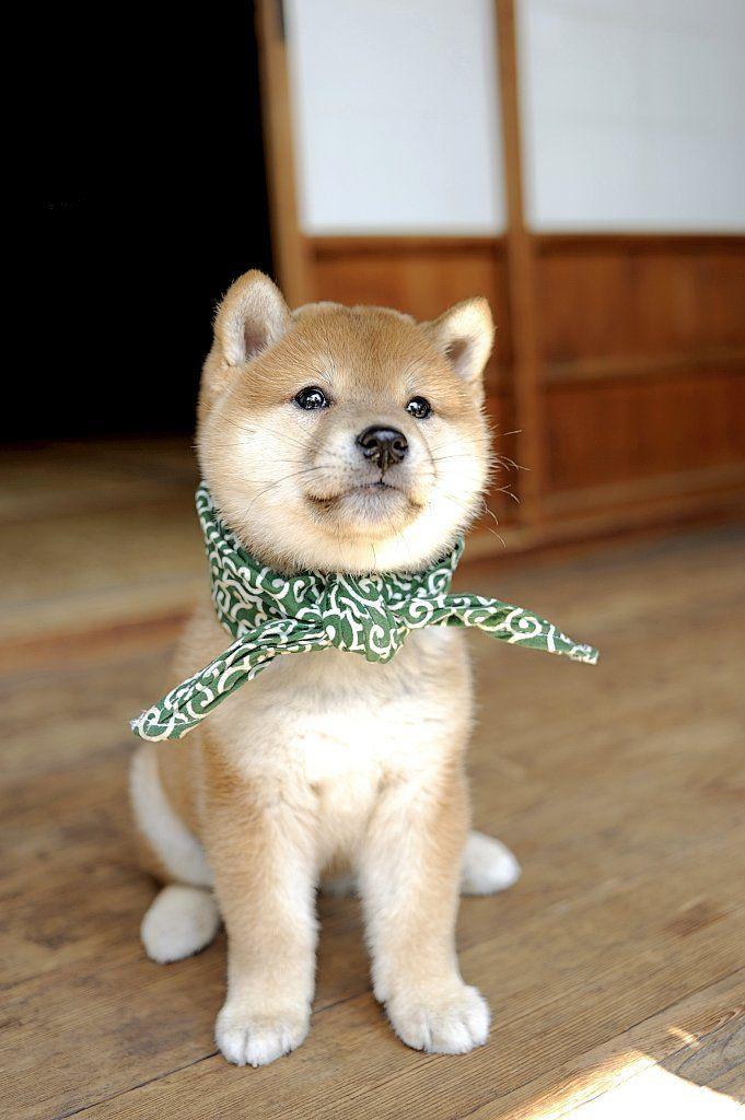 Amazon 和風総本家 豆助っていいな Dvd お笑い バラエティ 可愛い犬 柴犬 可愛い 子犬 画像