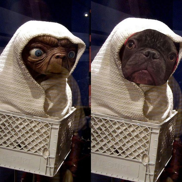 Um, Sir Stuart is WAY cuter........ET and @sir.stuart, separated at Birth, French Bulldog