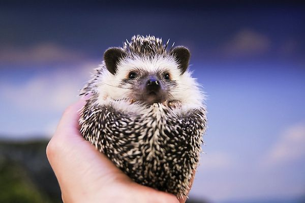 Little Hedgehog on hands by Yarinka Morozova  Little hedgehog is holding in the hands of a man on a blue background YarinkaMorozovaFeineArtPhotography, Fine Arts,  Home Decor, prints, Hedgehog, animals