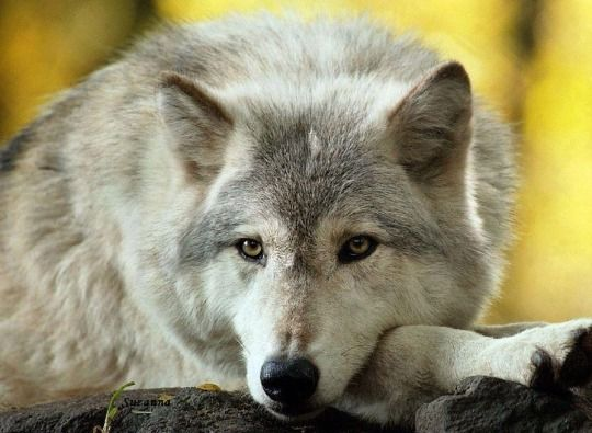Wolf at rest.. STOP KILLING WOLVES !