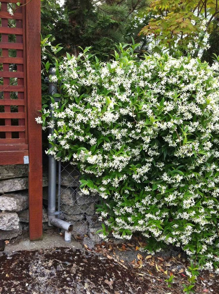 Confederate jasmine on my hideous chain link fence!!