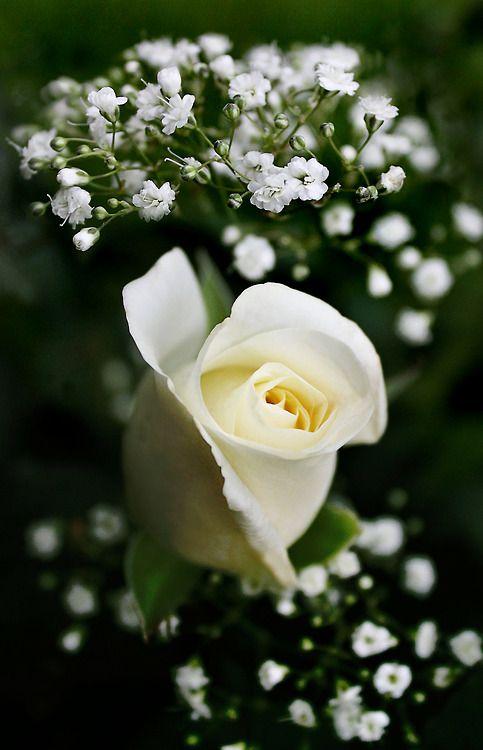 Rosa blanca. En la naturaleza, se puede encontrar pureza...