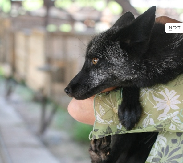 The Best Domesticated Silver Fox Ideas On Pinterest Red Tail - Domesticated baby fox is the cutest and sleepiest pet ever