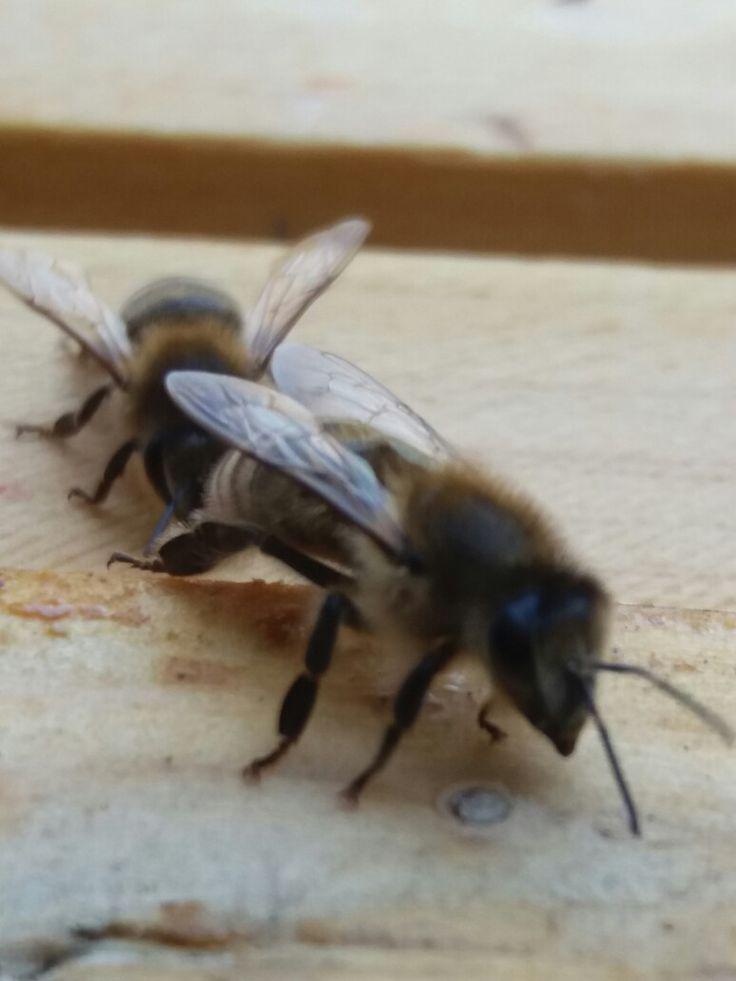 Název - Včela medonosná ( Apis mellifera ) Místo focení - strejdova zahrada