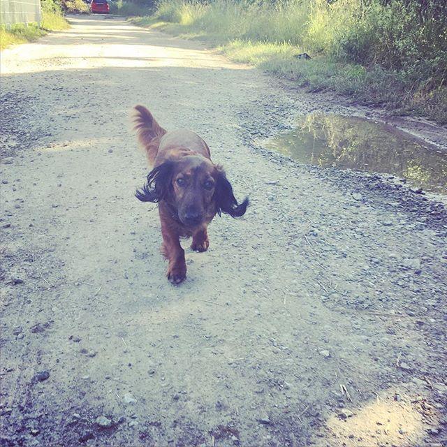 Flying ears #wienerdog #doxie #dachshundsofinstagram #dachshund #dog #dackel #langhaardackel #cutie #cutedog