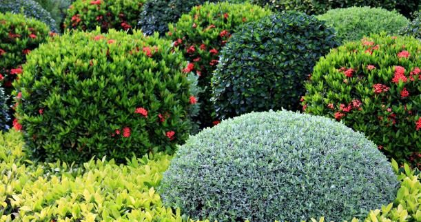 240 best topiary niwaki images on pinterest for Low maintenance border shrubs