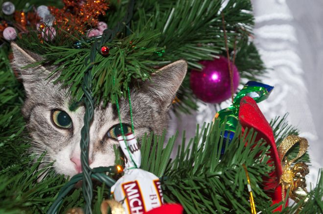 3 REASONS WHY CATS LOVE CHRISTMAS TOO! Cats. There are two traditional kinds of reactions to simply just the word. (Cats). There's the likers and there's the, well, um those who may not be the biggest fans in the world. We know this. Fo...