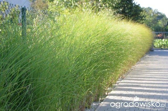 189 best ornamental grasses images on pinterest for Modern ornamental grasses