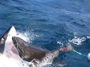 Great white shark attacks one of its own - GrindTV.com I guess I'd rather it attacked one of it's own than me.