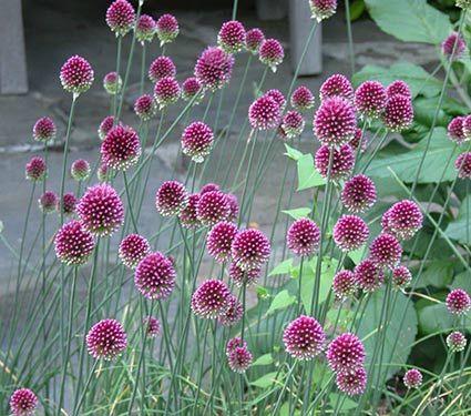 "Allium sphaerocephalon Common Name: Drumstick Allium Hardiness Zone: 5-7 S / 5-9 W Height: 24""+ Deer Resistant: Yes Exposure: Full Sun Blooms In: June-July Spacing: 3"" Ships as: Bulb"