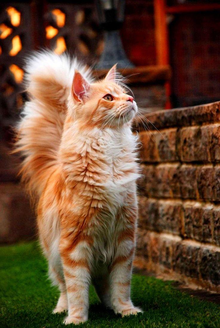 Коты мейн кун (фото) короли домашних кошек Мейн кун