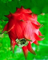 Health benefits of dragon fruit are many and varied. Among the health benefits of dragon fruit, for those on a diabetic diet, the fresh pitahaya fruit or dried pitahaya fruit can help with diabetesdragon fruit diabetes blood glucose control.