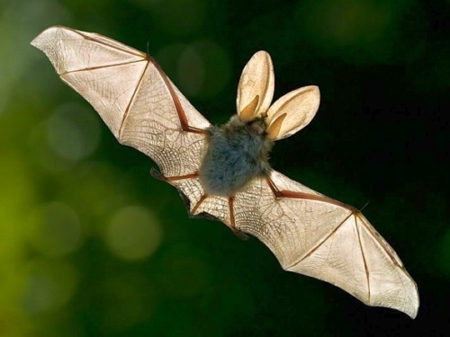 Bat Fact:  While others can glide, bats are the only mammals capable of continued flight
