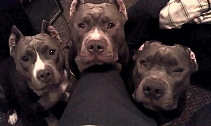 these are my kids  Blue Nose Gotti/Razor Edge pitbulls     Dejah, King Jr & Juelz