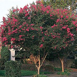 Plant Finder Lagerstroemia Patio trees and Shrub