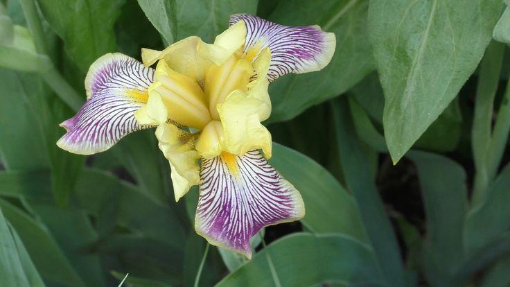 Flower - Iris  Video still from a Panasonic HC-V770 video camera.