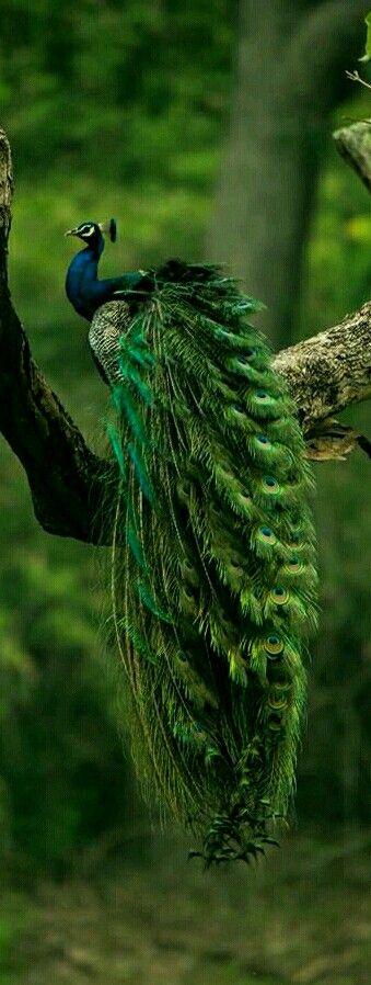 Hermoso pavo real con una gran cola!Es precioso,esta posado en una rama de árbol.