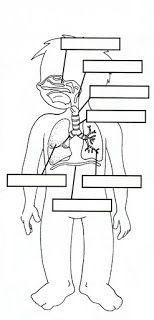RESPIRATORY, DIGESTIVE & CIRCULATORY BODY SYSTEMS | learningenglish-esl