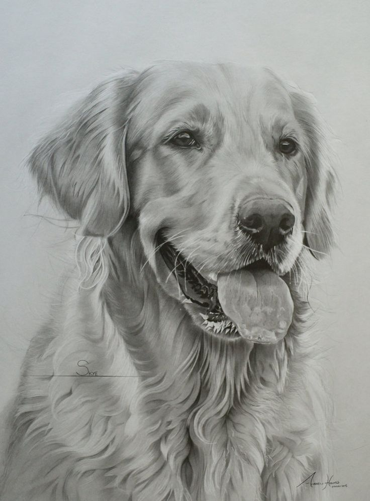 Commission - Golden Retriever 'Skye' by Captured-In-Pencil