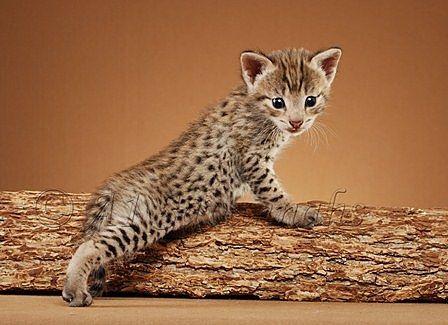 die besten 25 savannah katze ideen auf pinterest serval f2 savannah katze und orientalische. Black Bedroom Furniture Sets. Home Design Ideas