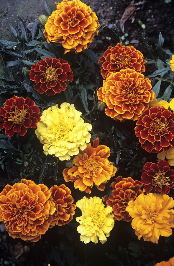 French Marigold (tagetes Patula) by Archie Young