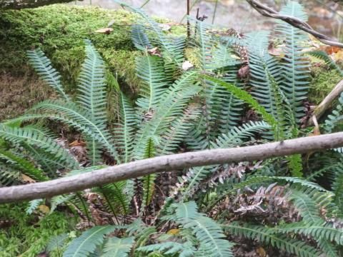peterorchardnod: My 'high five' from Studland! Distant hard fern growing on damp ground as always https://t.co/WP6xfnBQIS