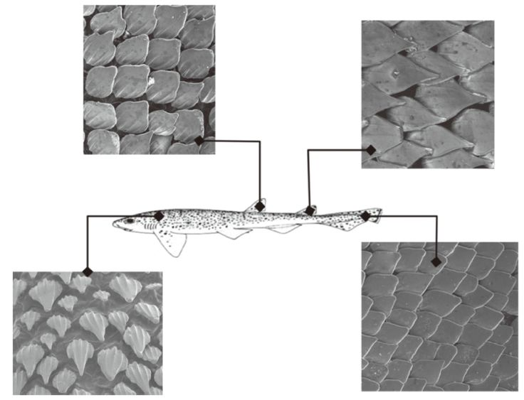 Figure 4 SEM images illustrating the variation in dermal denticle shapes across the body surface of Scyliorhinus canicula.