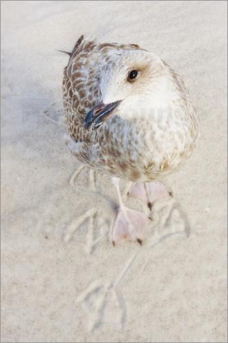 Möwen sind sehr zutrauliche Küstenvögel. Oftmals haben sie keine Scheu, den Menschen das Essen aus der Hand zu schnappen. Einige scheinen auch Gefallen daran zu finden, für ein Poster des Fotografen zu posieren.