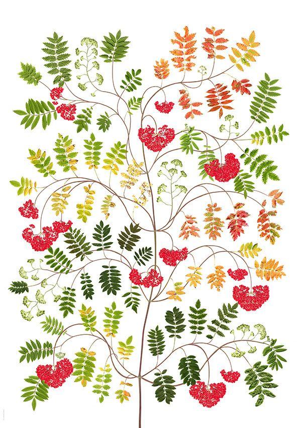 Rönn / Rowan - Lottas Träd/ Lottas Trees