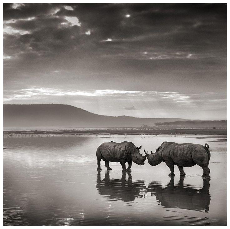 Rhinos in Lake