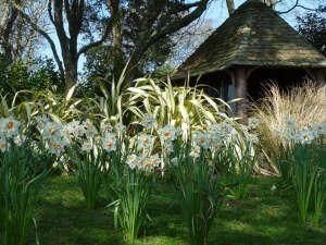 Daffodils at Trelissick Gardens